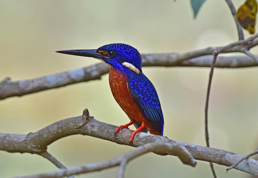 Blue-earedKingfisherx6