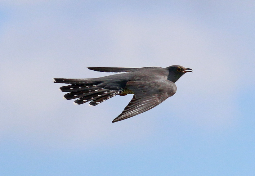 Cuckoox1