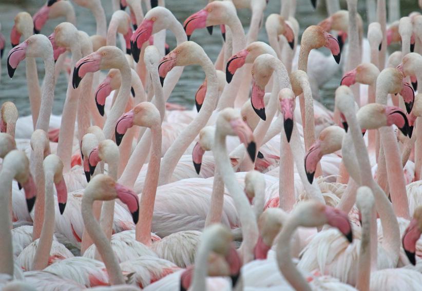 Flamingox2