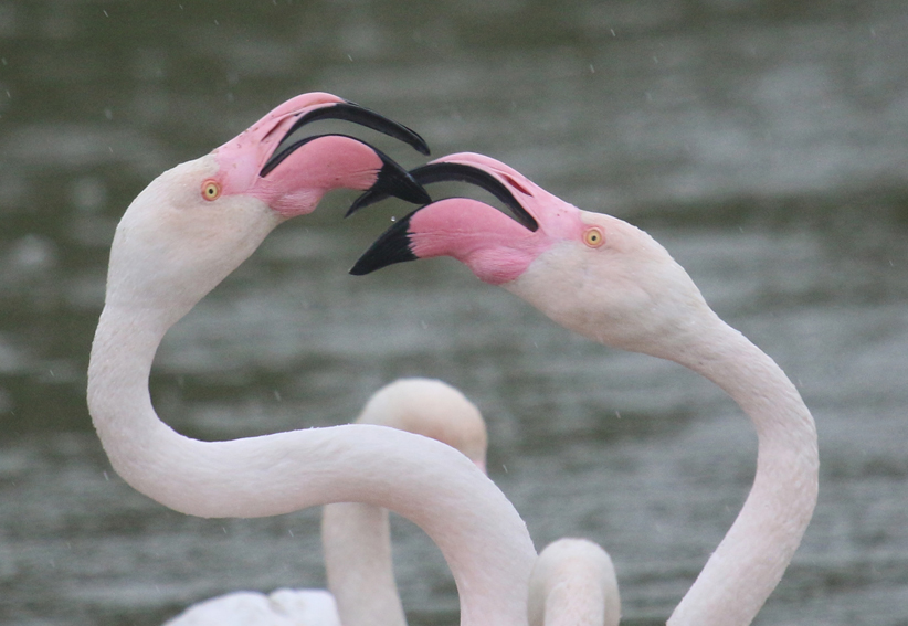 Flamingox9