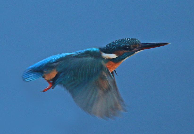 Kingfisherx2