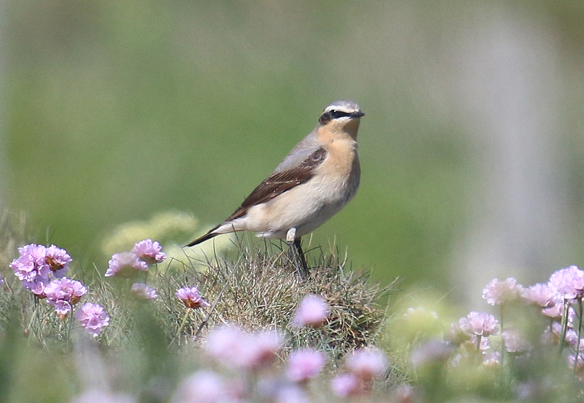 NorthernWheatearx5