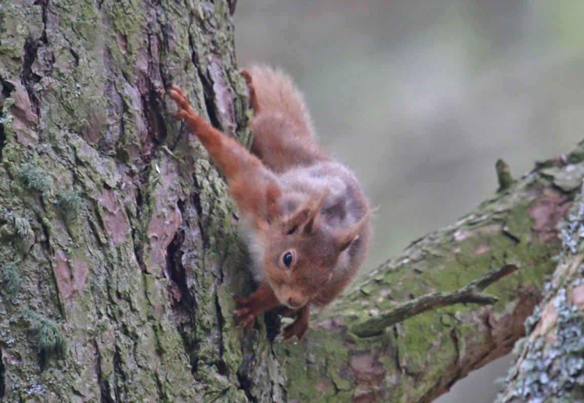 RedSquirrelx1