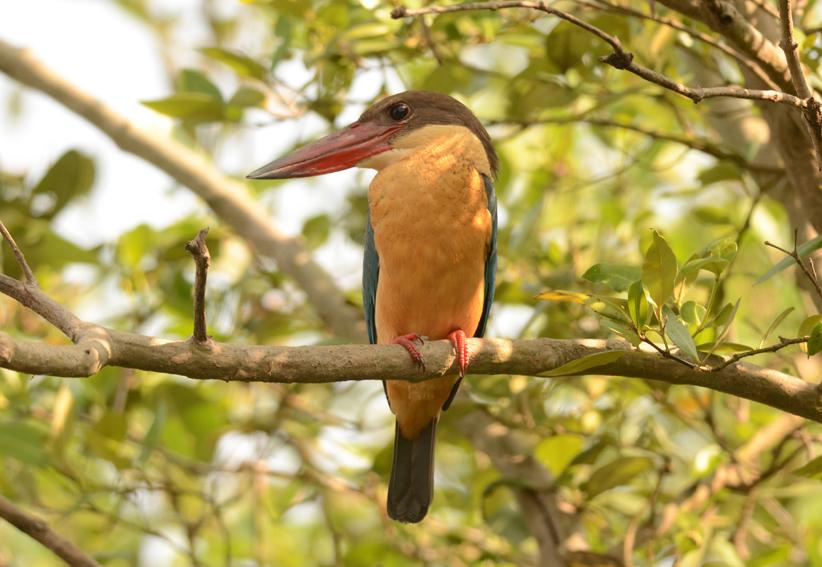 StorkbilledKingfisherx10