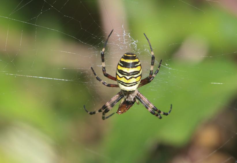 WaspSpiderx5