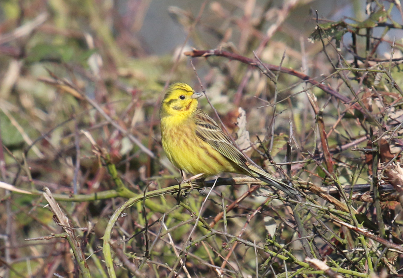 Yellowhammerx4