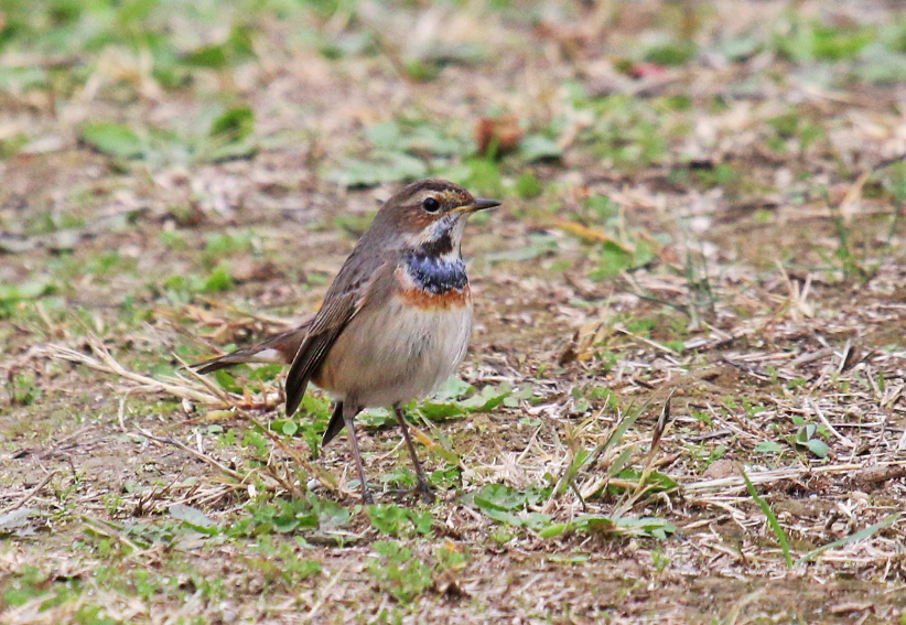 Bluethroat1