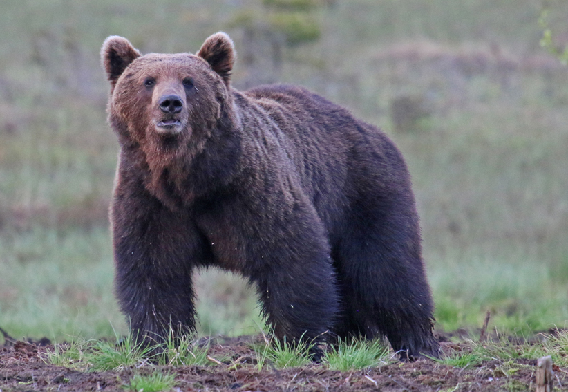 Brown Bear9