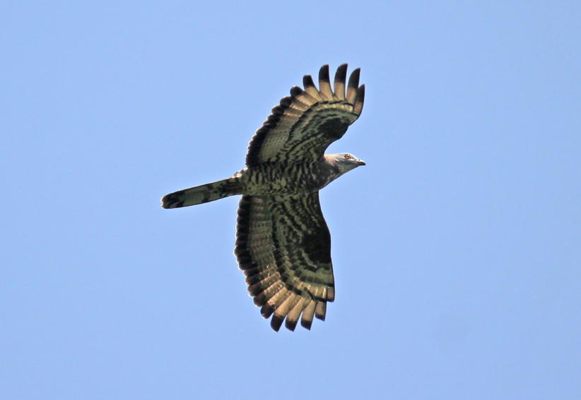 EuropeanHoneyBuzzard2
