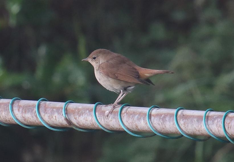 Nightingale9
