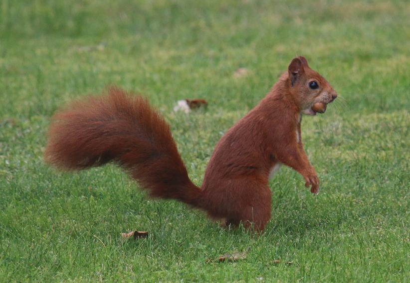 RedSquirrel5