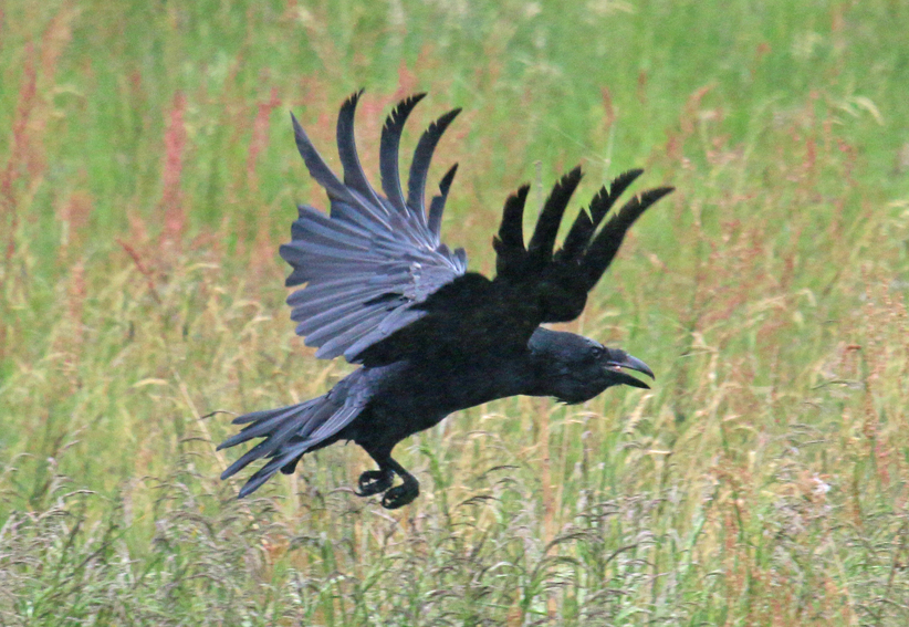 Northern Raven